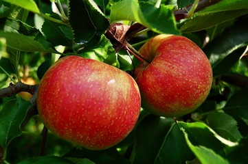 tree ripend apples