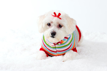Wall Mural - small white dog in winter scene