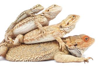 familia de lagartos