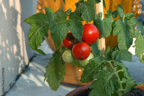 pied de tomate sur un balcon photo libre de droits sur. Black Bedroom Furniture Sets. Home Design Ideas