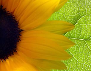 bright sunflower background