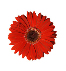 Photo sur Plexiglas Gerbera red gerbera flower