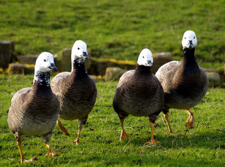 four white-headed geese