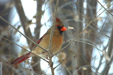 northern cardinal{female}