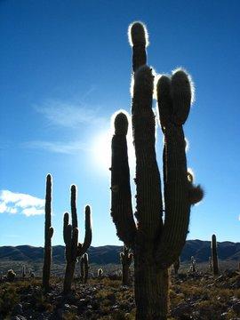 cactus geants dans le nord argentin