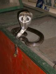 serpent a lunette