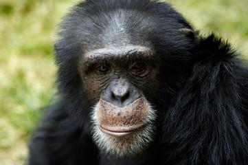 animal - chimpanzee (pan troglodyte)