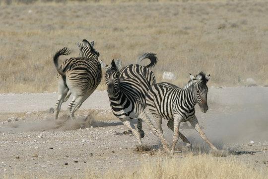 zebra playing around
