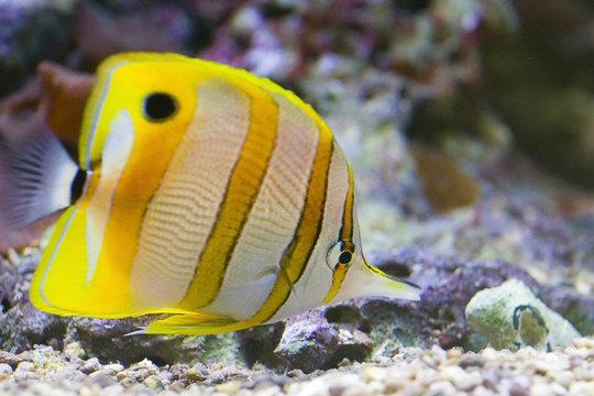 butterflyfish/pinzettfisch