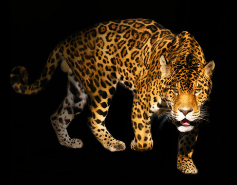 angry wild panther on black background