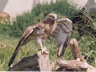 les ailes du rapace