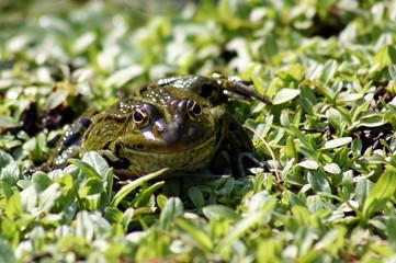frosch - 9