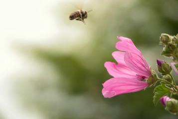 bee collecting honey