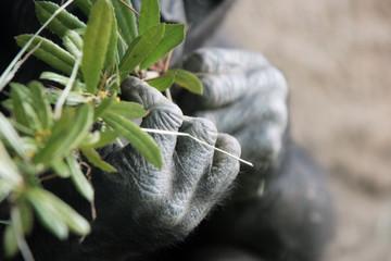 hands of a gorilla