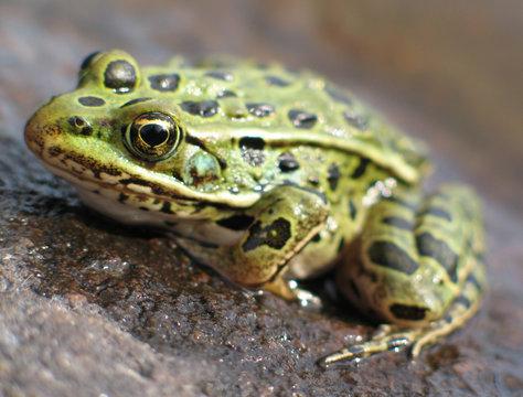 leopard frog 2