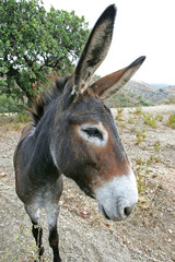 close up of spanish donkey with big ears