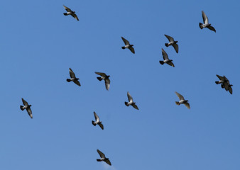 flies pigeons
