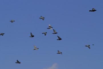 flies pigeon