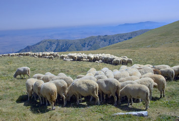 sheep eating at the pasture in macedonia