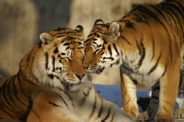 nice tigers