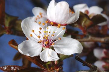 Papiers peints Fleur de cerisier fleur de cerisier 02