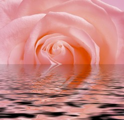pink rose reflection in water