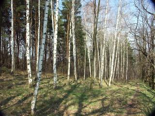 birken-wäldchen