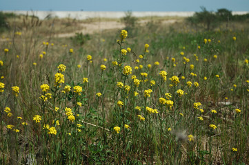 meadow on the dune