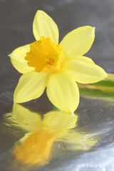 Photo on textile frame Narcissus narcis on shiny surface