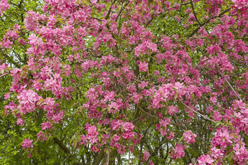 prunus en fleur