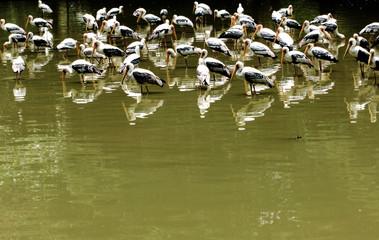 yellow storks
