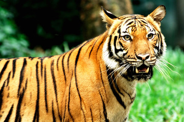 tiger of bengal
