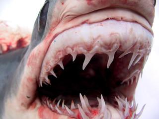 shark 07