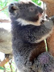 koala cub climbing