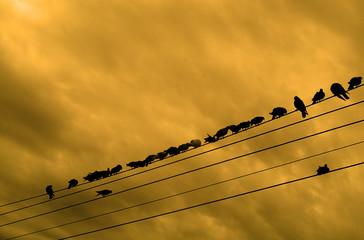 row of pigeon