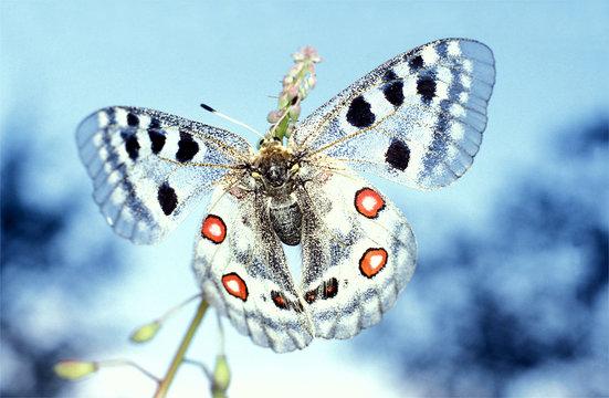 Apollofalter, parnassius apollo, Schmetterling, Copyspace