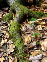 mossy root