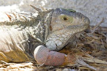 iguana3536