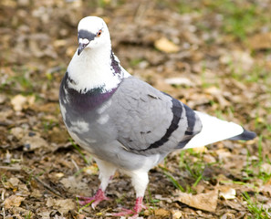 white and gray pigeon