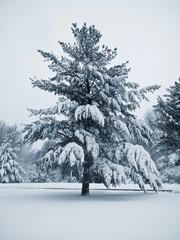 frigid pine blue