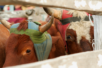 cattle at the rodeo