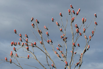 the pink parrot tree