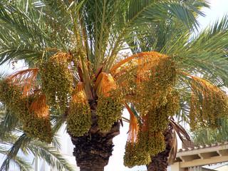 dattelpalme, tunesien