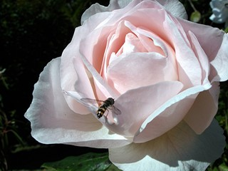 fly and rose 1.