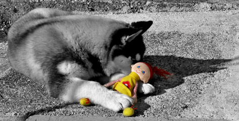 schwarzweisser wolf mit farbiger puppe