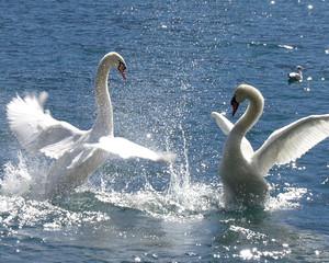 Foto op Canvas Zwaan swan dance