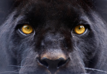 Zelfklevend Fotobehang Panter the eyes of a black panther