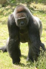 gorille mâle de face
