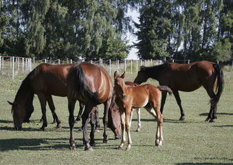 horses mothers and colts2