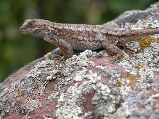 lizard0001